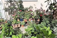 我が家の庭に春が来た・・・可愛い花、美しい花が満開・・・ピンクのゼラニュウムが可愛い、ガーデニング - 藤田八束の日記