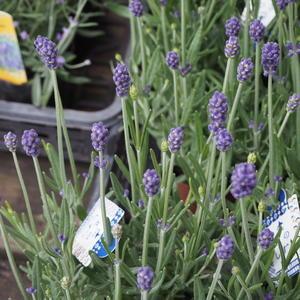 ラベンダー① - sola og planta ハーブとお花のお庭日記