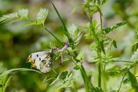 里山に遊ぶチョウ - 旅のかほり