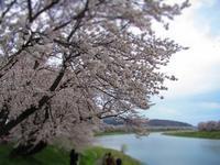 わかばと一目千本桜を見に行ってきました♪ - はなちゃんと一緒♪