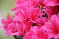 旧芝離宮恩賜庭園のツツジ、ボタン、フジなど花色々 - 子猫の迷い道Ⅱ