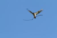 ツミ 雄は二刀流 - 気まぐれ野鳥写真