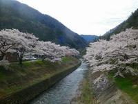 島々谷の桜の花が満開です~!! - 乗鞍高原カフェ&バー スプリングバンクの日記②