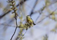芽吹きのヒガラ - 鳥見って・・・大人のポケモン