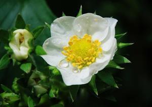 白石和江さんの写真です   五月とボタンの花 - 素敵な仲間