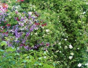 今朝の庭から・・・白い花 - mr&mrs kajiの小さなバラの庭