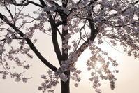黄昏桜 - 心の色~光生写真館~