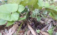 トウゴクサイシン(友の庭の花) - 標高480mの窓からⅡ