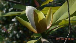 四十雀と朴の花 - マザーローズ
