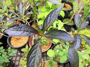 黒光りのヤマアジサイ~園芸のいのうえ屋カラス葉ヤマアジサイ - 園芸のいのうえ屋