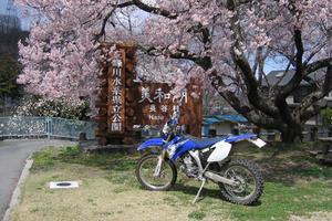 信州美和ダム湖畔の桜 - Nakaの泥轍日記