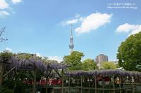 2017年亀戸天神藤まつり・・・NO-1(スカイツリ-と藤の花のコラボ) - 自然のキャンバス