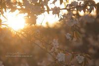 黄昏桜**日常のそばで - きまぐれ*風音・・kanon・・