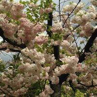 五月病とゴールデンウィーク / イメージは「忙殺」/ 朝からがミソ - peridotのタロット占い@京都