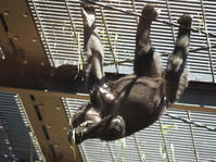 ♪サル、ゴリラ・チンパンジ~♪ 京都市動物園2017/4/23 - ヒトのたぐい ゴリラと愉快な仲間たち