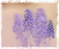 赤城自然園のムスカリ - 光 塗人 の デジタル フォト グラフィック アート (DIGITAL PHOTOGRAPHIC ARTWORKS)