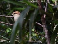 警戒するモズ、黒川清流公園 - 西多摩探鳥散歩