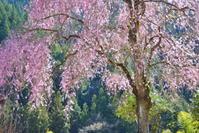 山里の桜 4 - 天野主税写遊館