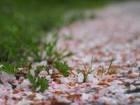 散り桜 - 鹿深の森