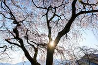 京都の桜2017 岩屋寺のしだれ桜 - 花景色-K.W.C. PhotoBlog