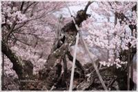 JINDAIZAKURA / 神代桜 - 花鳥風猫ワン