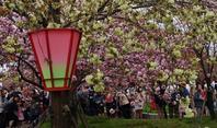 造幣局通り抜け2017(6)八重桜、八重桜・・・ - たんぶーらんの戯言