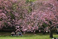 京の名残の桜を求めて(6)京都御苑・出水の小川のサトザクラ - たんぶーらんの戯言