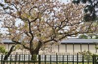 京の名残の桜を求めて(7)京都御苑・御車返しの桜 - たんぶーらんの戯言