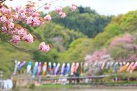 里桜と鯉のぼり♪ - happy-cafe*vol.2