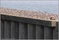 ハマシギのアクロバット飛翔 - 野鳥の素顔 <野鳥と・・・他、日々の出来事>