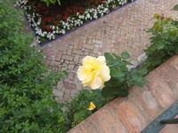 やはりバラの花 - 絵を描きながら