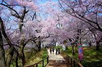 高遠城址公園の桜① - 晴れたらいいね♪
