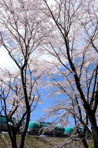 桜とタキ1000形貨車 - My B Side Life season2