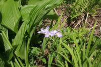 立夏(5/5~5/20)のころ、宮迫で咲く花 - 宮迫の! ようこそヤマボウシの森へ