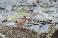 冬鳥の一部の北帰行が遅い - 上州自然散策2