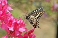 アゲハの競演   つつじ見物のお土産 - 蝶のいる風景blog