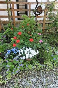 藤田八束の可愛い花@ガーデニング・・・春の庭は大賑わい可愛い花たちが元気いっぱい、ゼラニューム - 藤田八束の日記