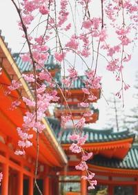 京都 平安神宮の桜 2017 - 暮らしを紡ぐ