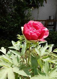 「牡丹」開花中&「カポック」に花? - 【出逢いの花々】