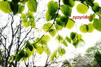 新緑のかがやき - ジージーライダーの自然彩彩