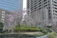 中之島の桜と可愛い花たち♪ - a&kashの時間。