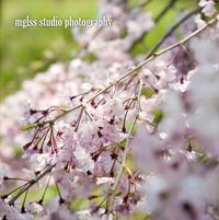 Rolleiflex 2.8F + PARWALZAR No2の試写(大仙公園と靭公園の桜) - mglss studio photography