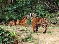 よこはま動物園ズーラシア 4月26日の2コトラ - お散歩ふぉと