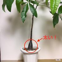 パキラの実生株get!!の巻 - ぱぴぷぺぺの植物とか日々つぶやき