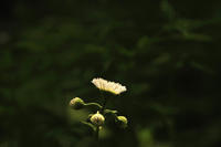 第18候 牡丹の花咲き始める - Wind Tribe Story