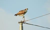 ミサゴの挑戦 - barbersanの野鳥観察