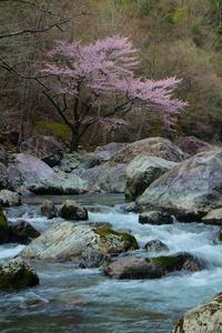 神童子谷の大山桜 2017年04月27日 - 大和うらうら
