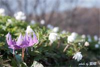北国の春 - 藍の郷