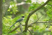尾が長い - 趣味の野鳥撮影