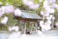 鎌倉の桜 妙本寺 - Amour Tendre